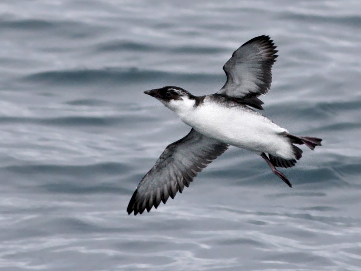 Ancient Murrelet - Ian Davies