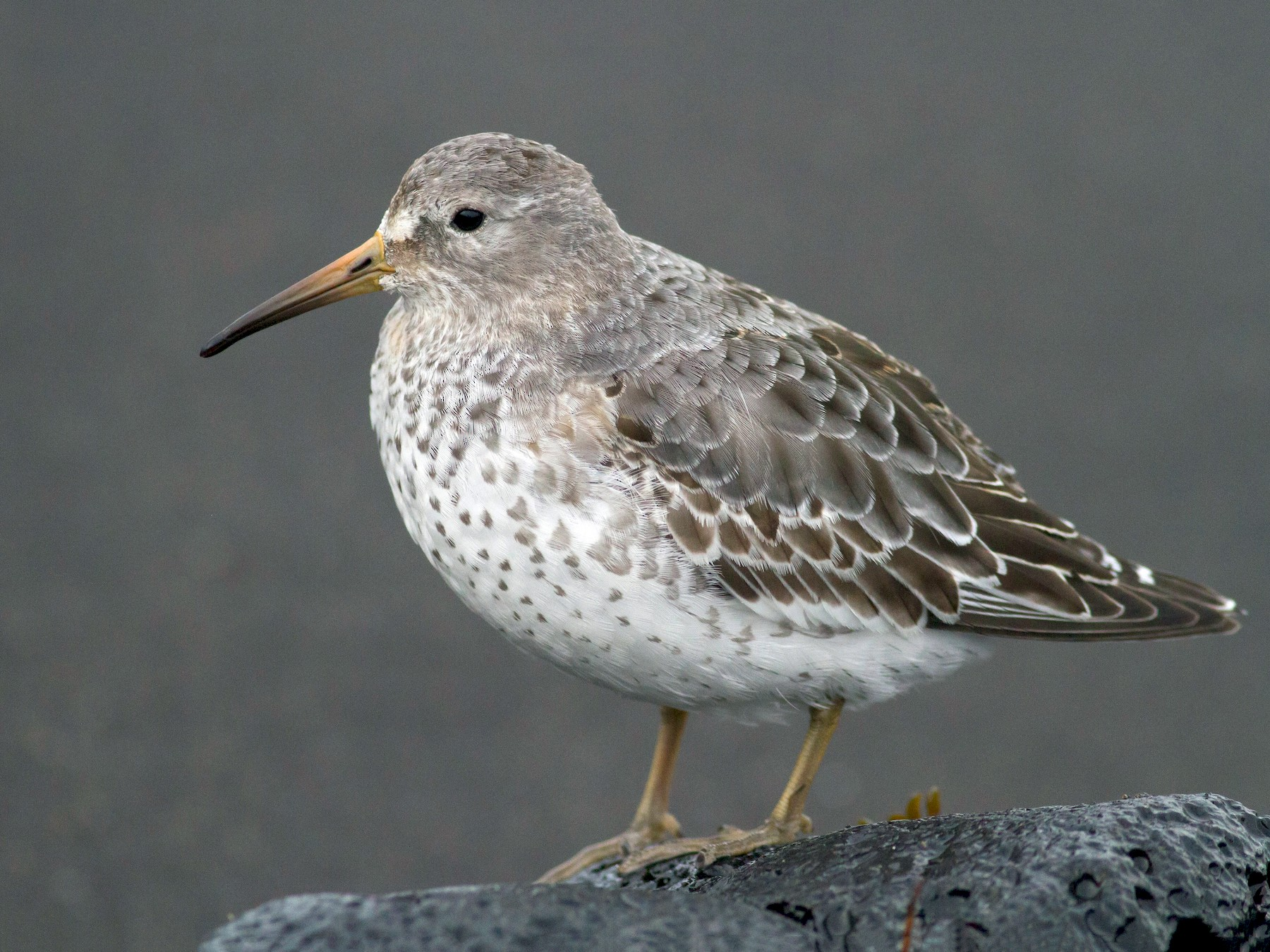 Rock Sandpiper - Johnny Bovee