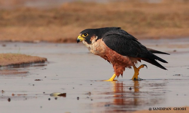 Peregrine Falcon (Shaheen)