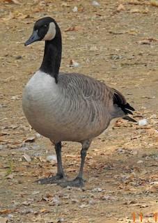Canada Goose, ML40591601