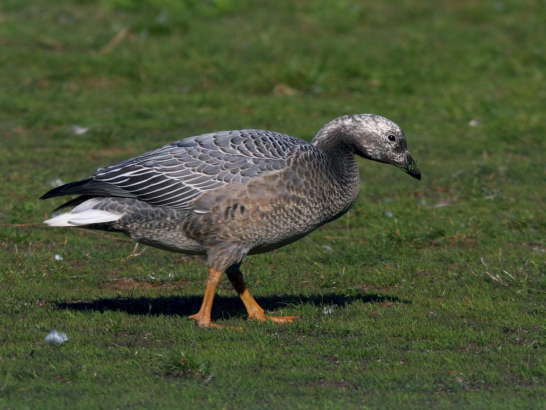 Emperor Goose - Don Munson