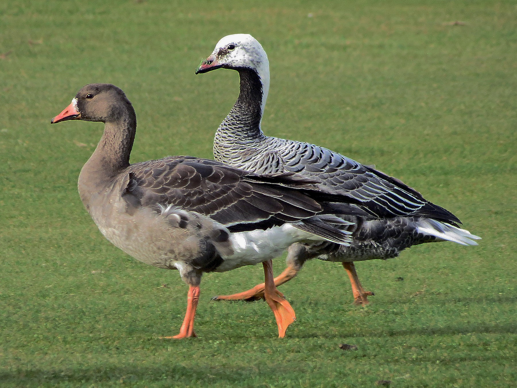 Emperor Goose - Blair Bernson