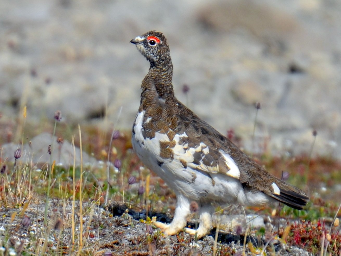 Rock Ptarmigan - Mark Davidson