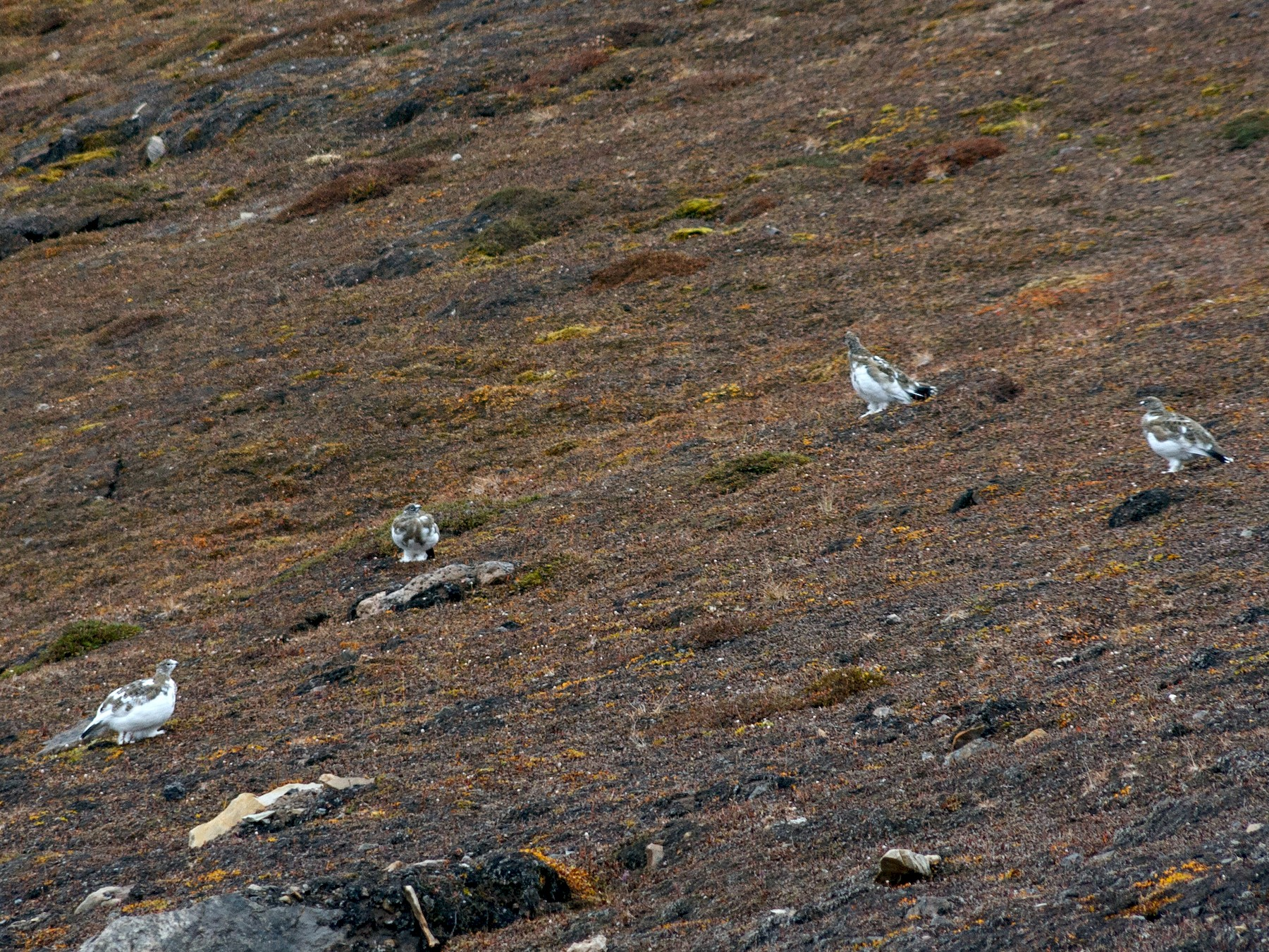 Rock Ptarmigan - Anonymous eBirder