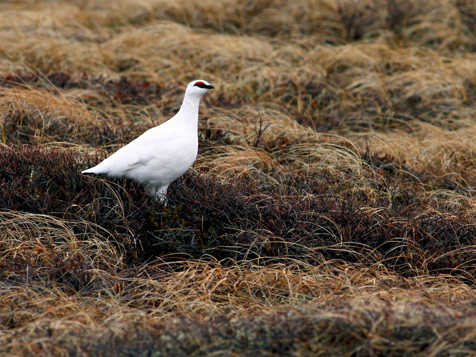 Rock Ptarmigan - Andrew Spencer
