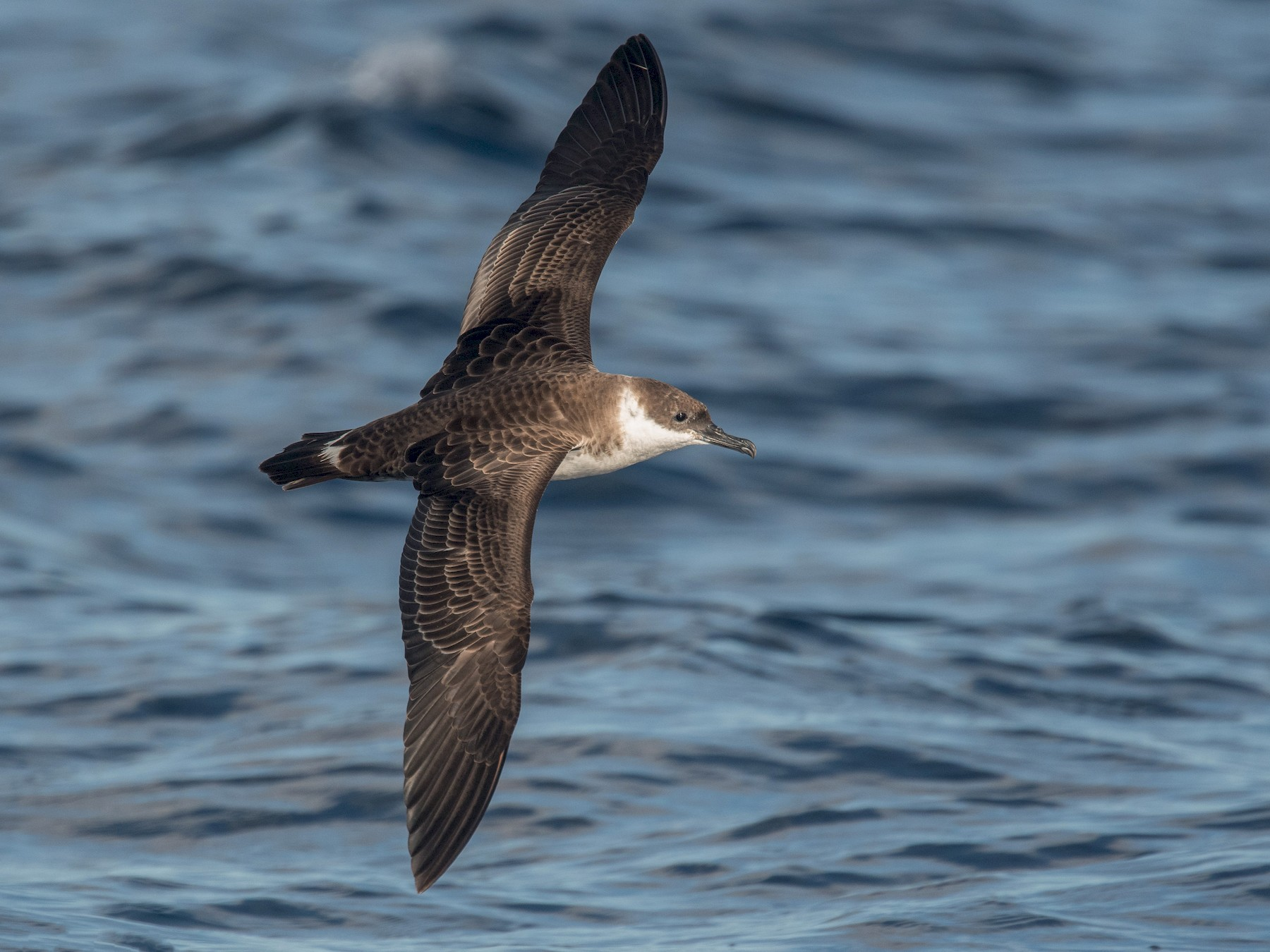 Great Shearwater - Derek Rogers