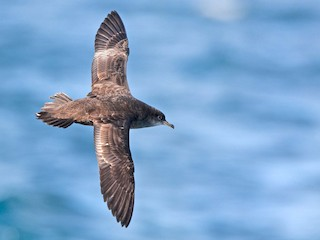 - Short-tailed Shearwater