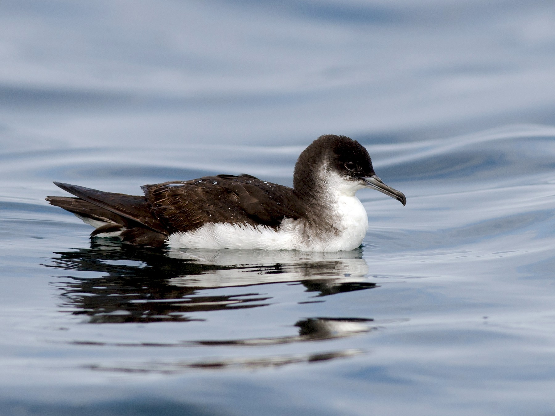 Manx Shearwater - Alix d'Entremont