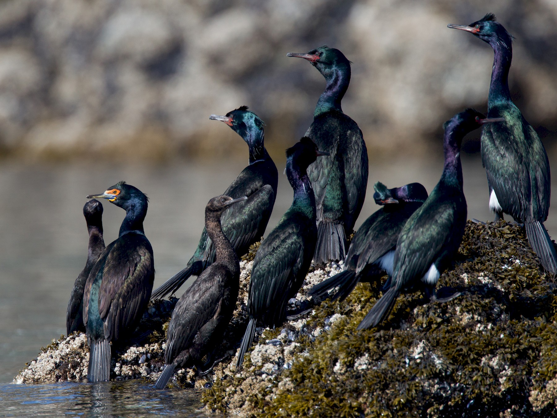 Red-faced Cormorant - Chris Wood
