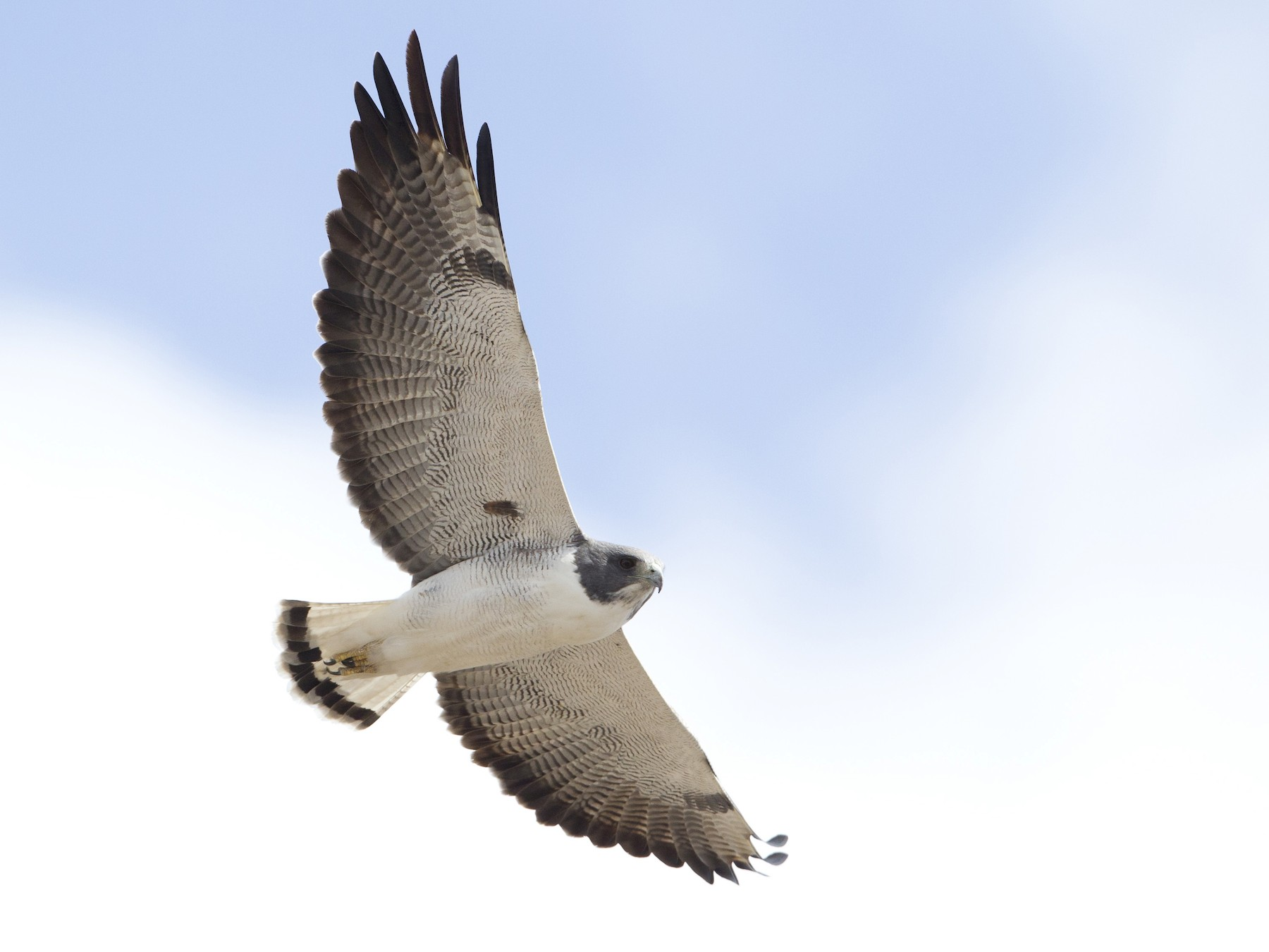 White-tailed Hawk - Brian Sullivan