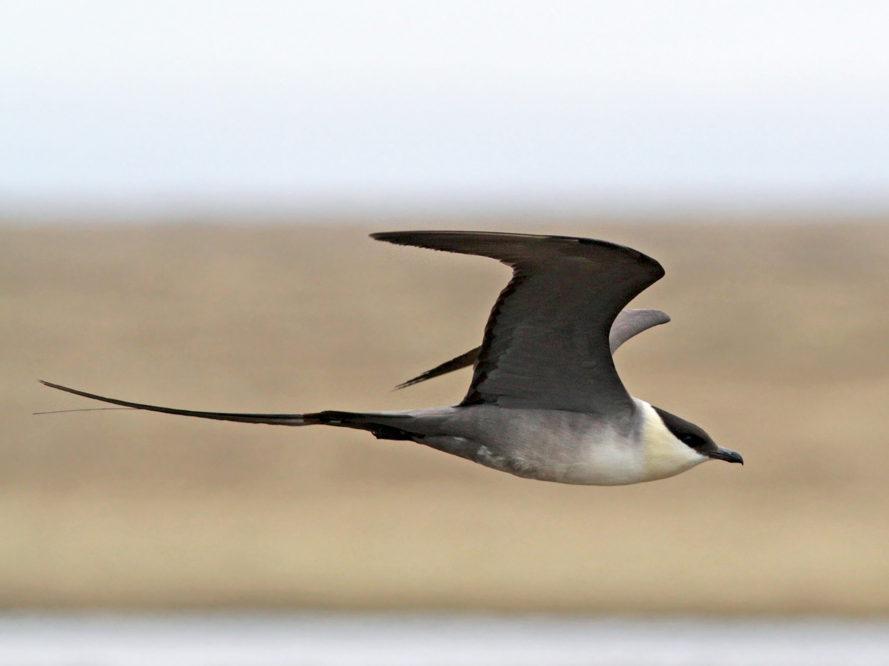Long-tailed Jaeger - Ian Davies