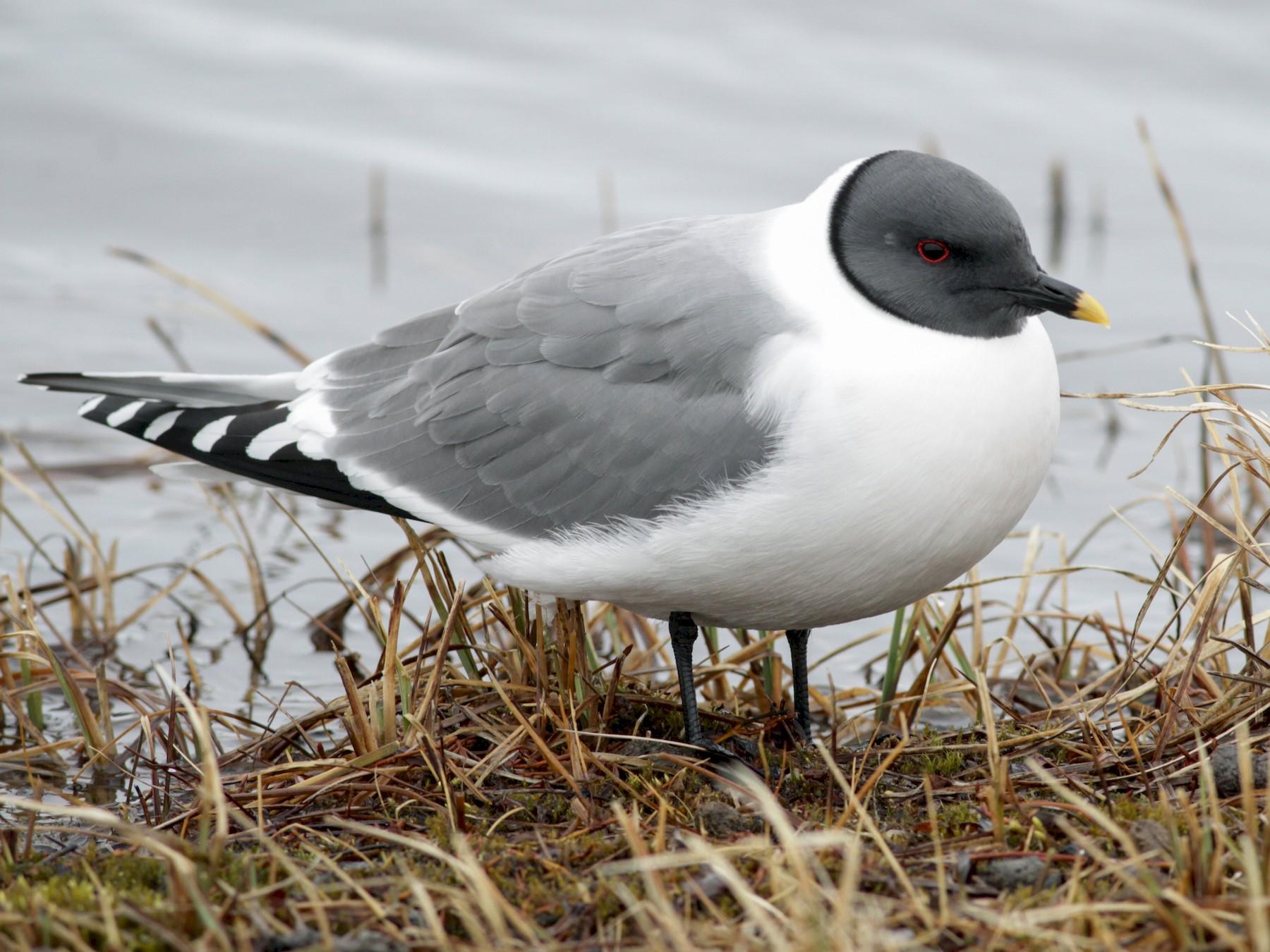 Sabine's Gull - Ian Davies