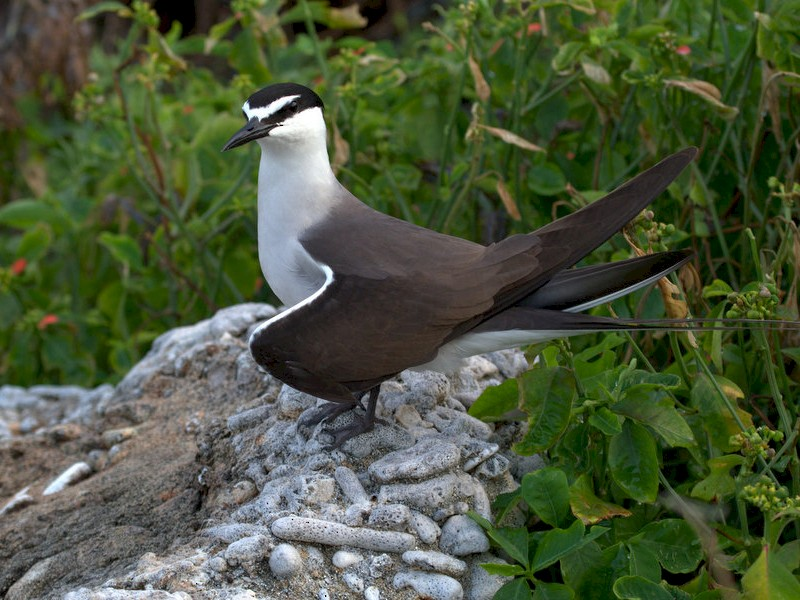 Bridled Tern - Mat Gilfedder