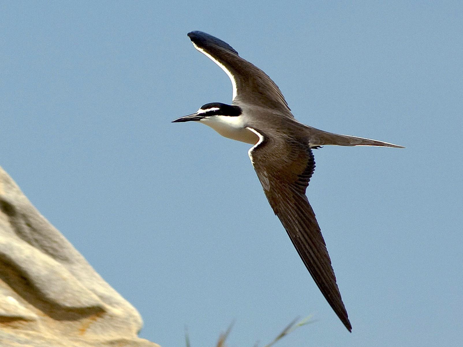 Bridled Tern - NORALIP HASSANUDDIN