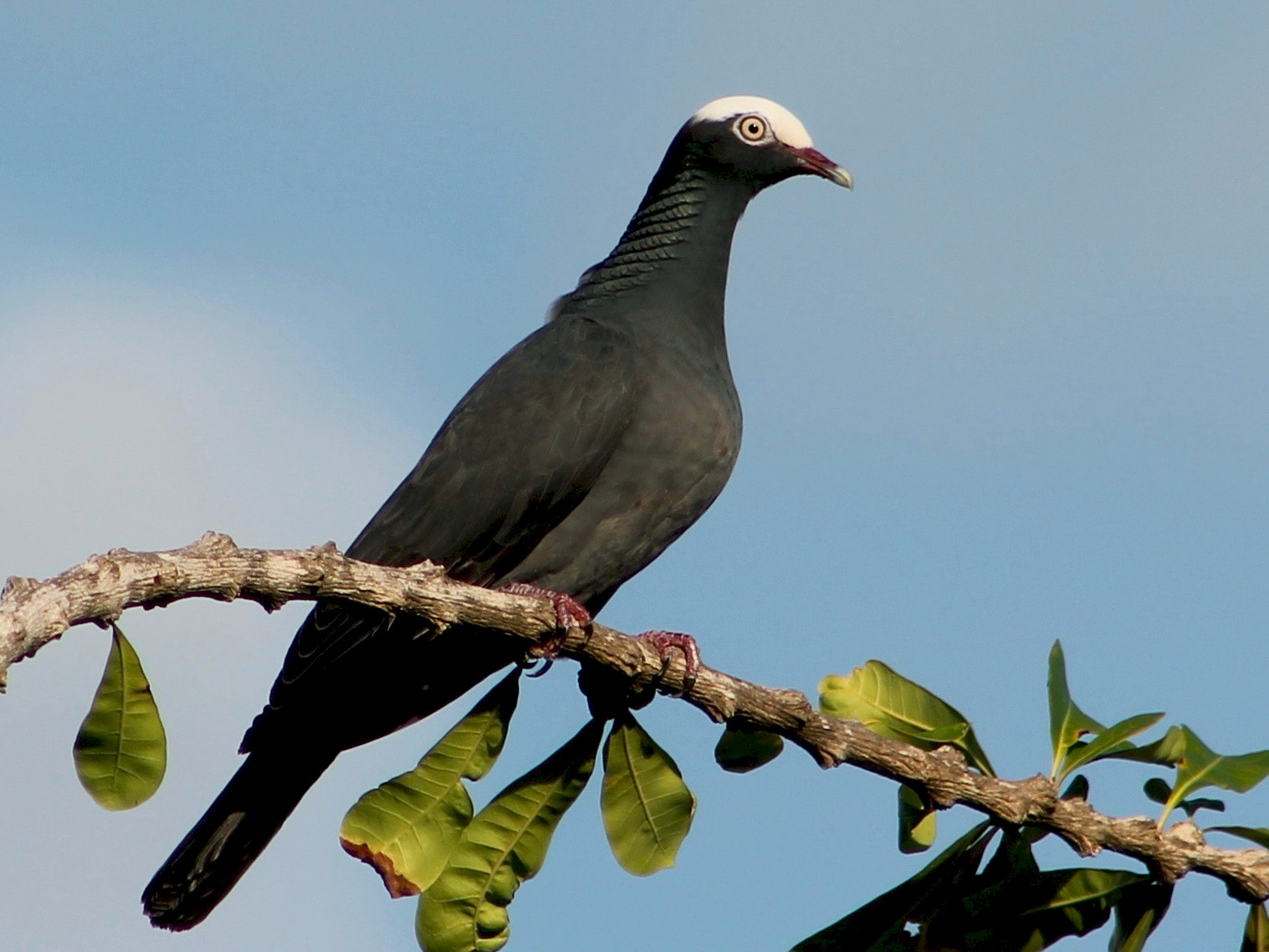 White-crowned Pigeon - Holly Kleindienst