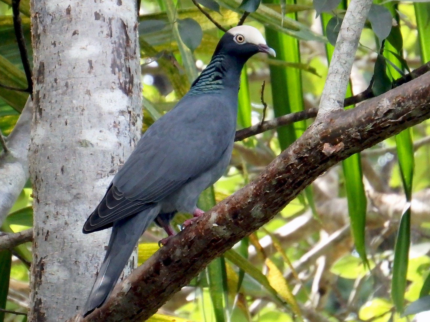White-crowned Pigeon - Erika Gates