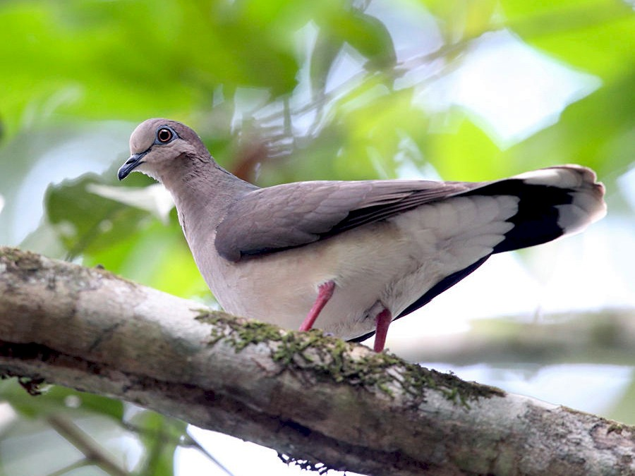 White-tipped Dove - Tom Murray