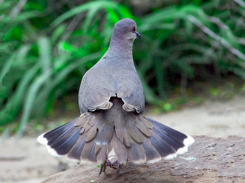 White-tipped Dove - Carlton Collier