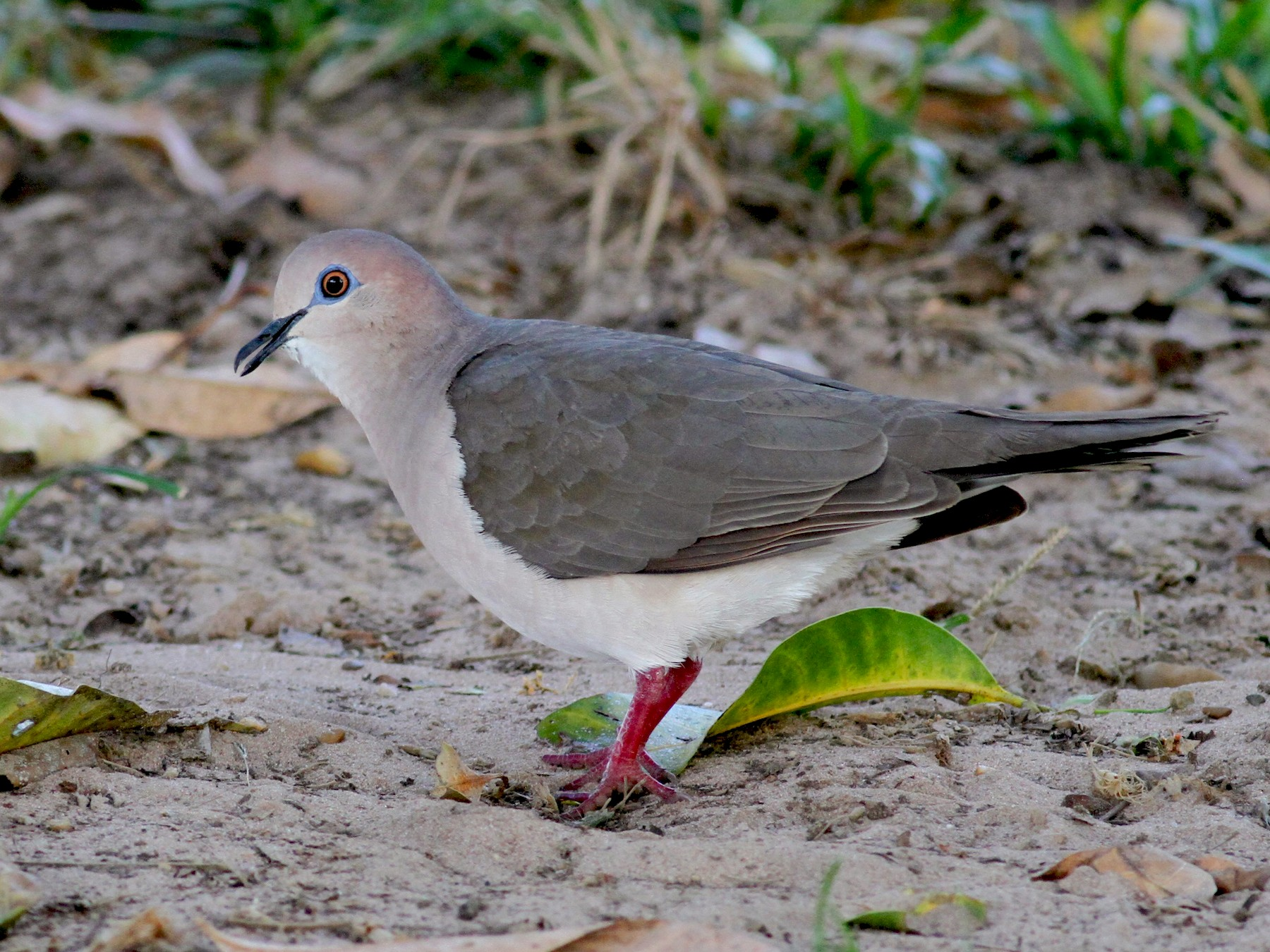 White-tipped Dove - Jay McGowan