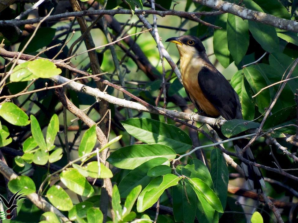 Mangrove Cuckoo - Maynor Ovando