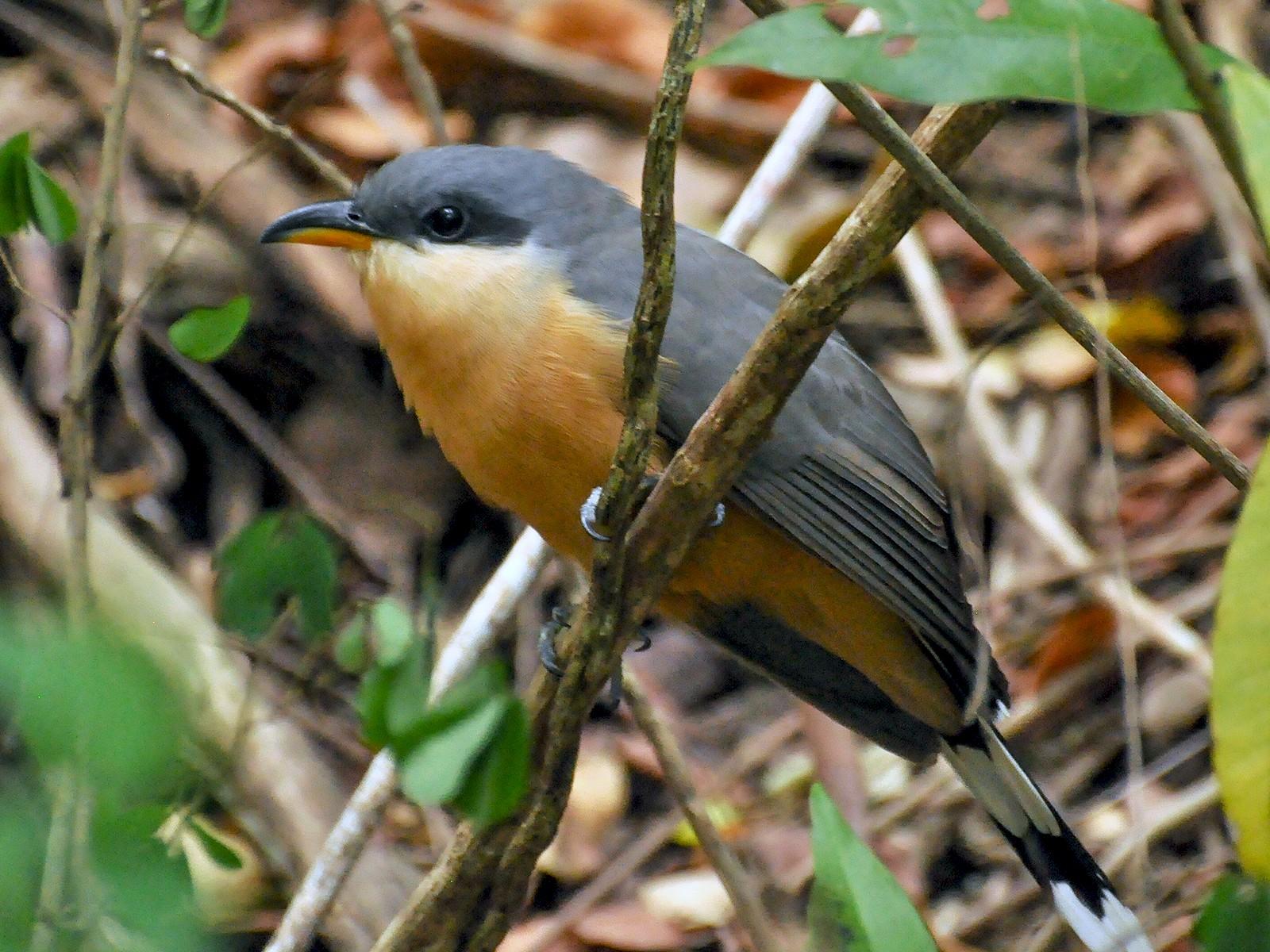 Mangrove Cuckoo - ryan  doherty