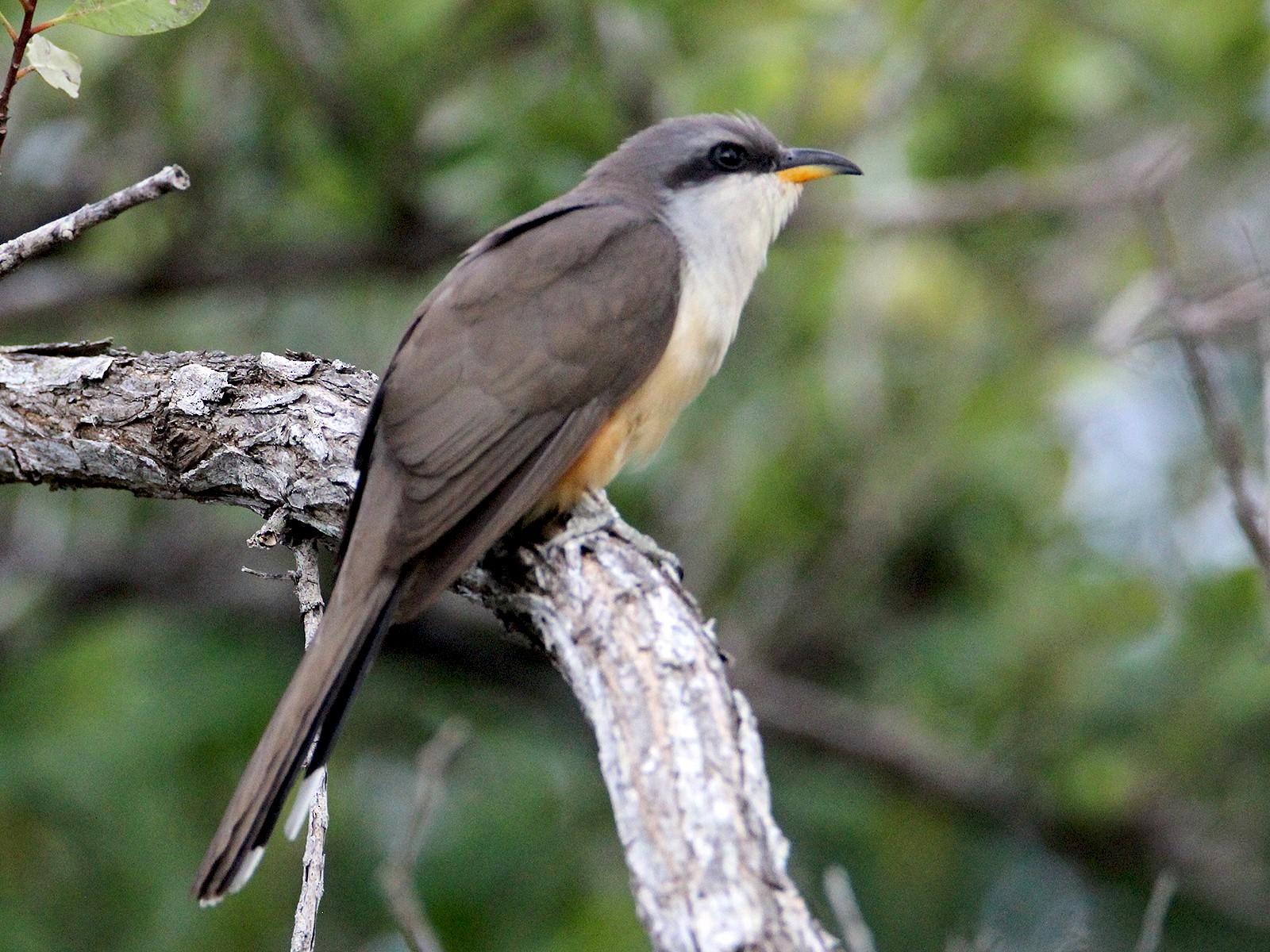 Mangrove Cuckoo - Jim de Waal Malefyt