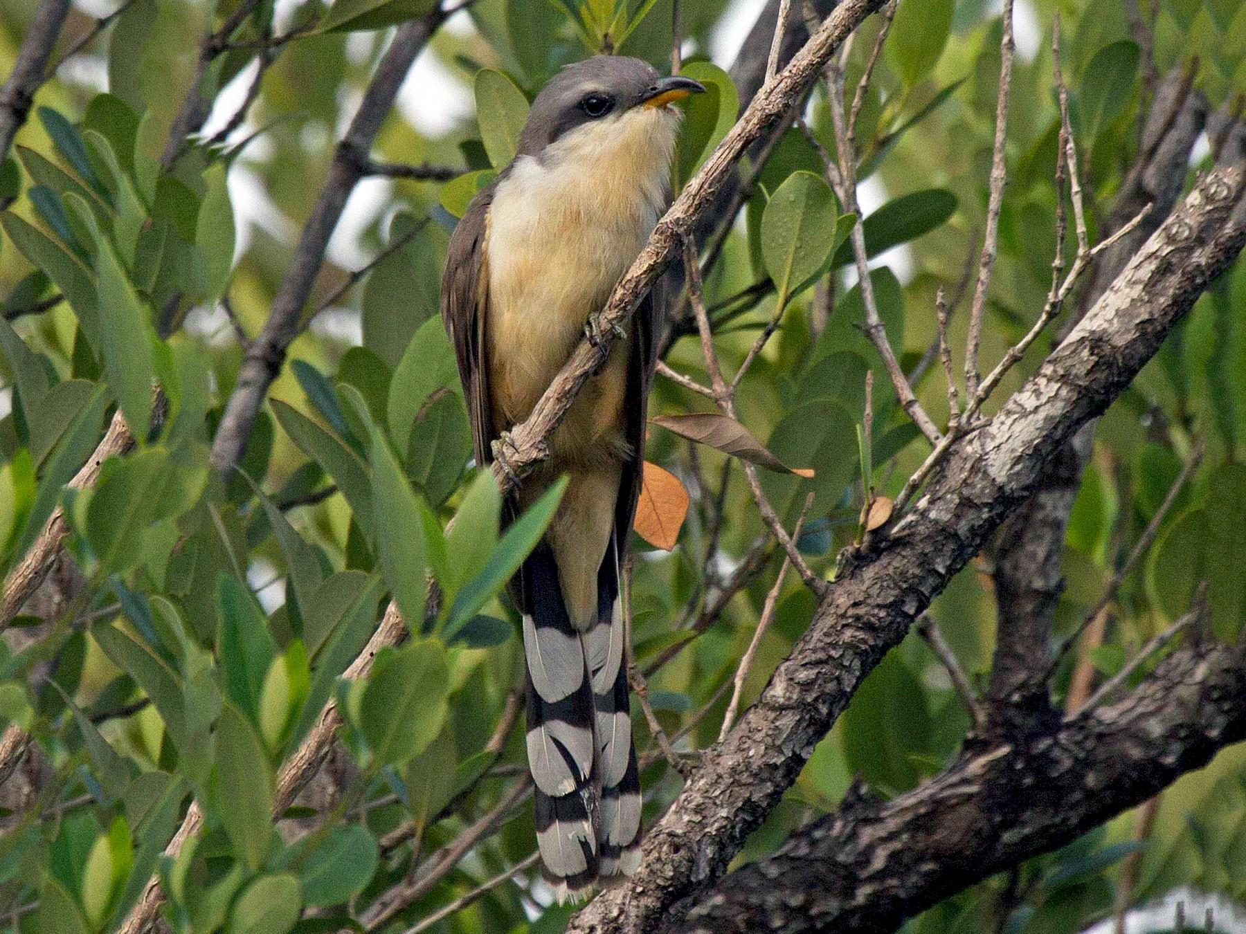 Mangrove Cuckoo - Scott Berglund
