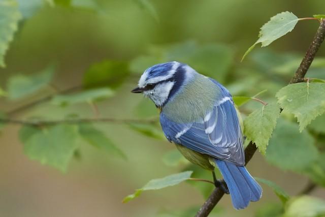 Eurasian Blue Tit