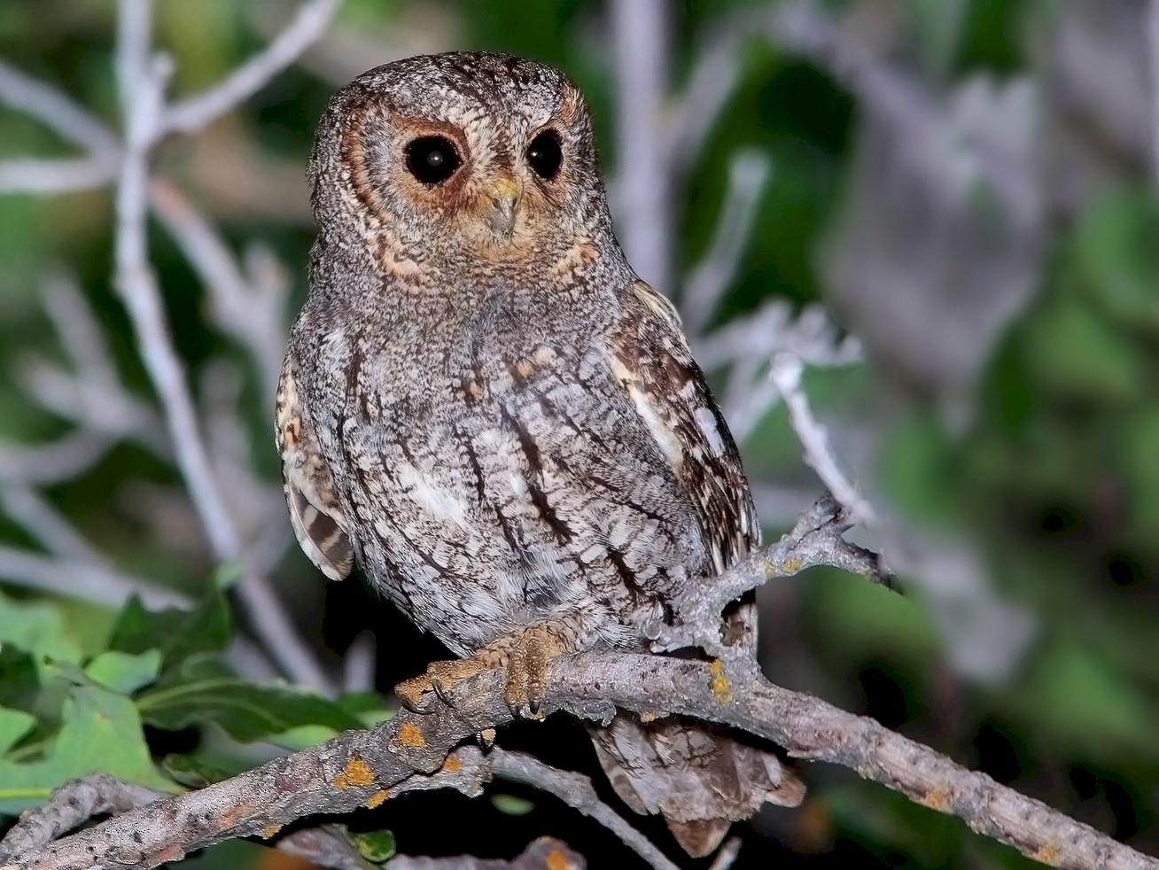 Flammulated Owl - Tim Avery