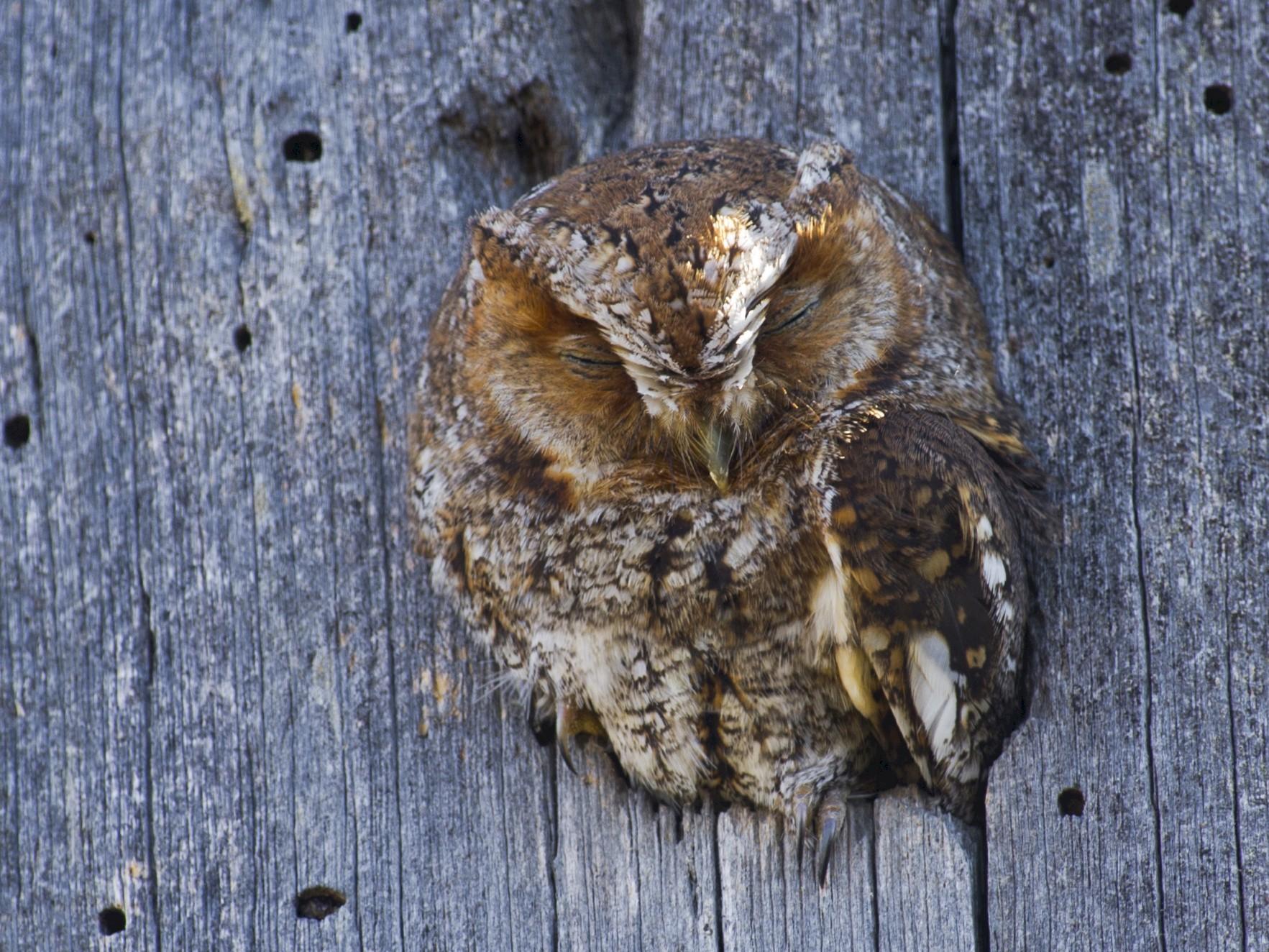 Flammulated Owl - John Cahill xikanel.com