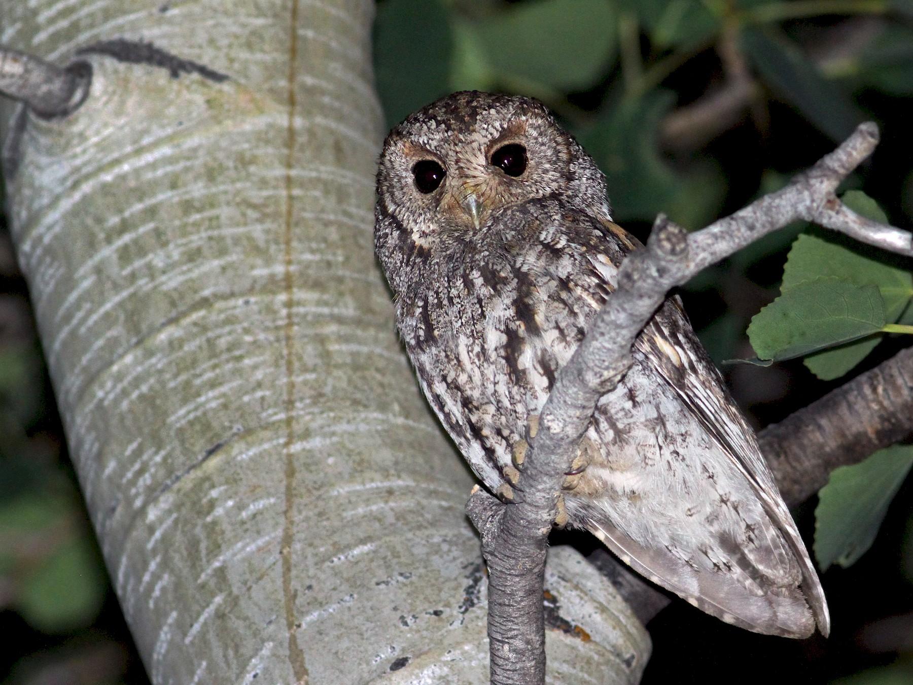 Flammulated Owl - Luke Seitz