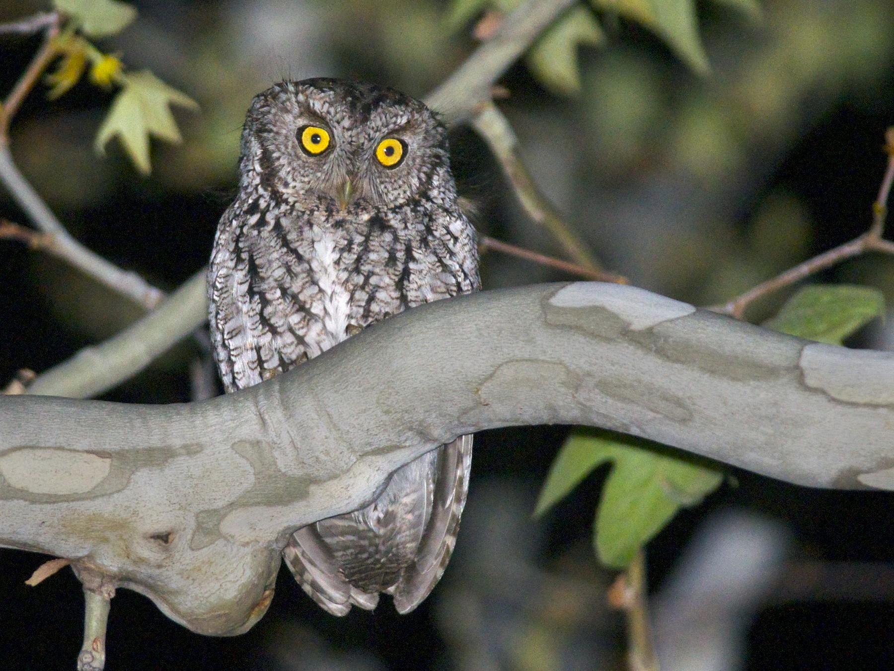 Whiskered Screech-Owl - Amanda Guercio