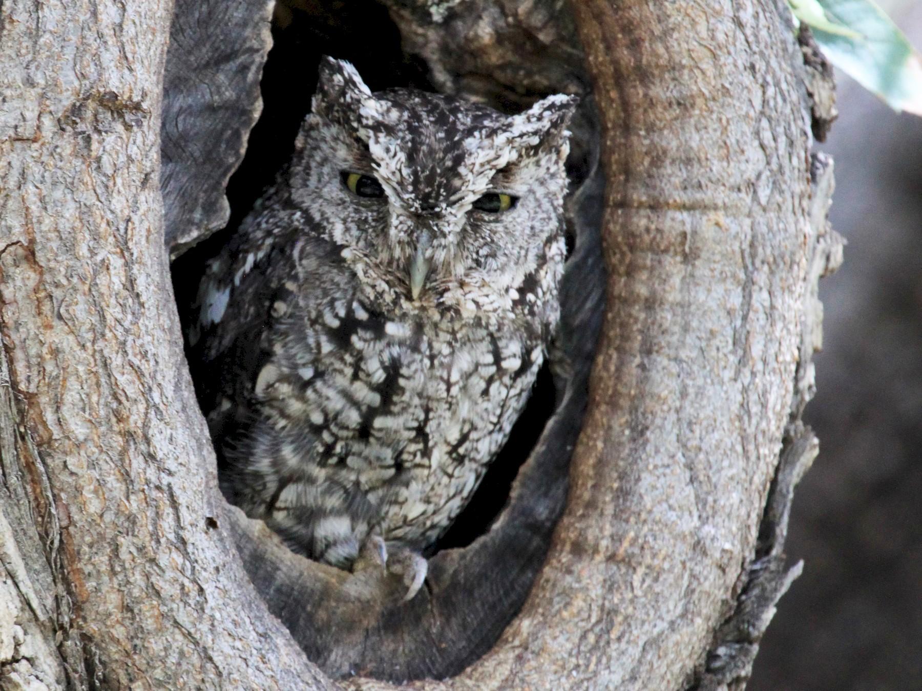Whiskered Screech-Owl - Zeke Watkins
