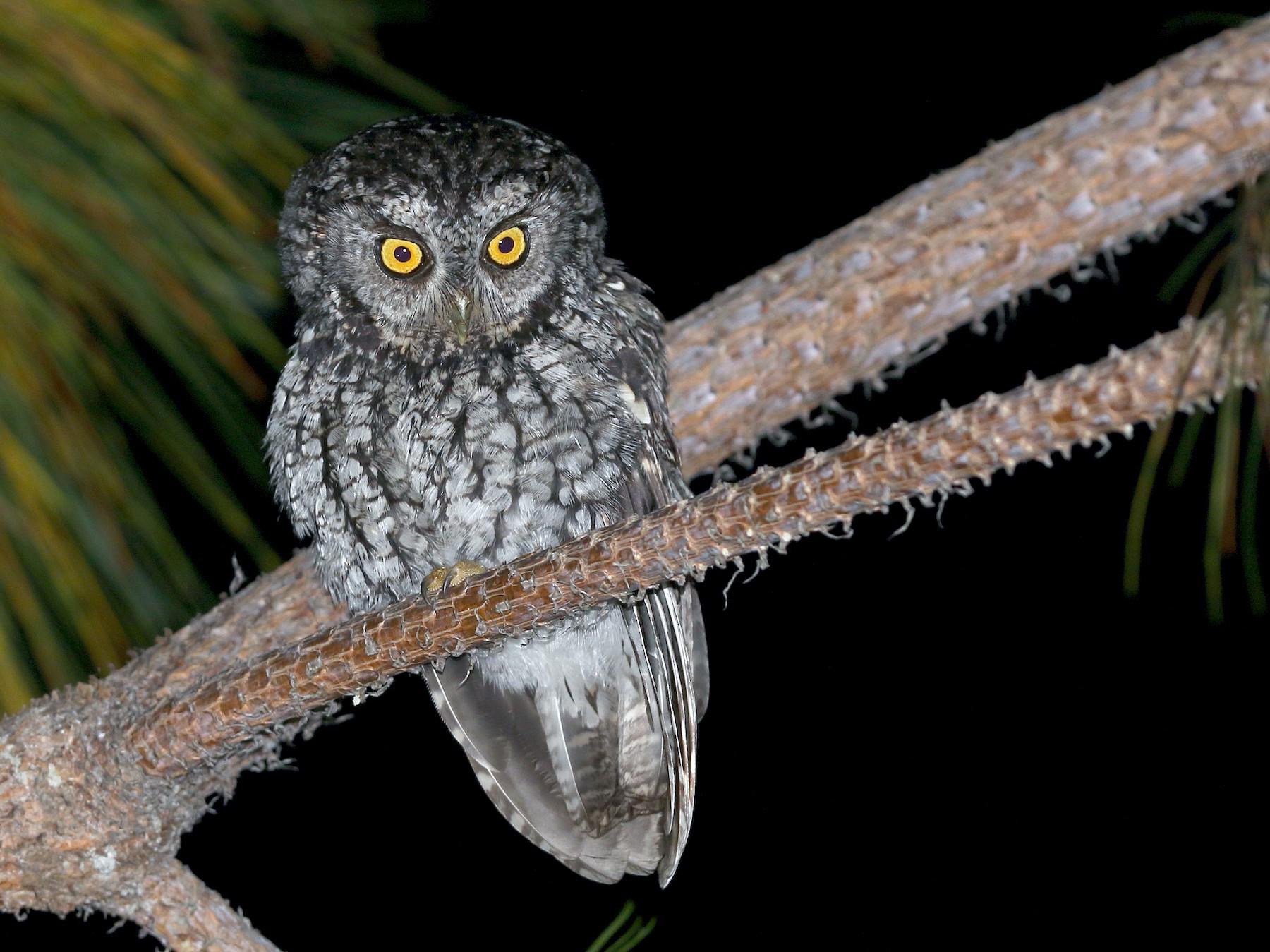 Whiskered Screech-Owl - Alfredo Garcia