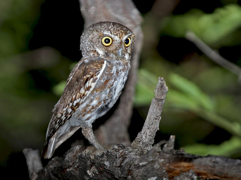 Elf Owl - Matthew Grube