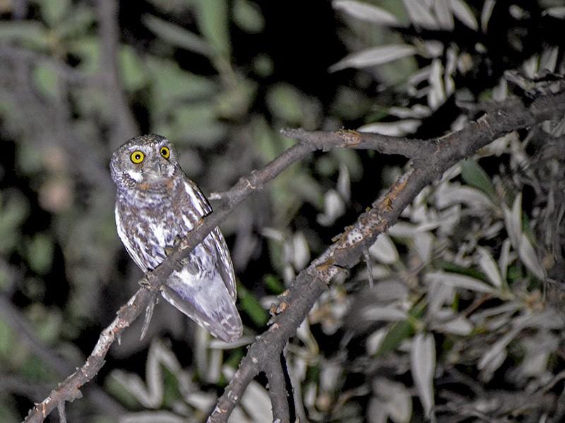 Elf Owl - Ryan Andrews