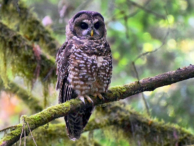Spotted Owl - Max Leibowitz