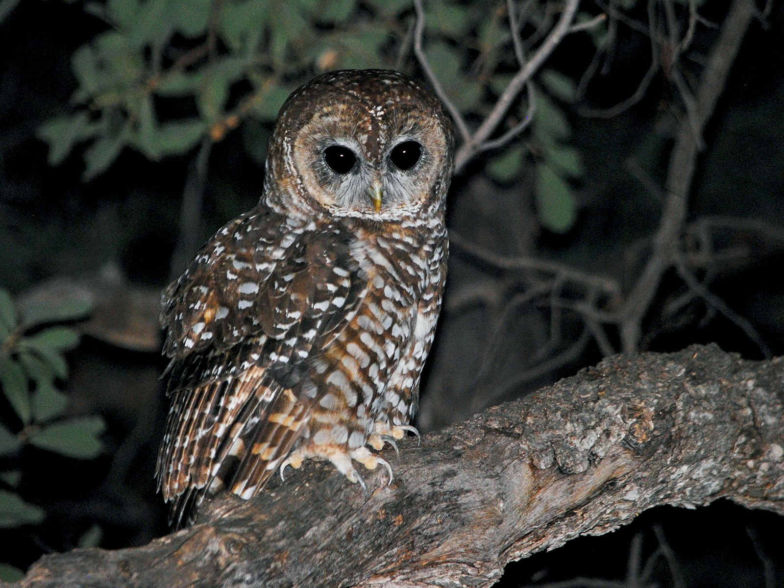 Spotted Owl - Caleb Strand