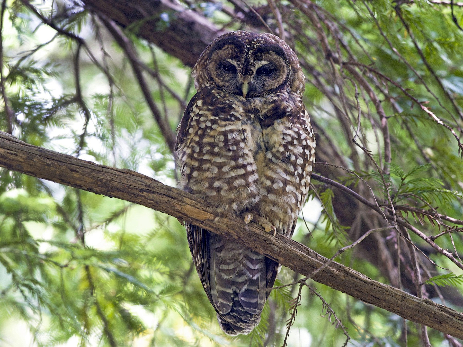Spotted Owl - Logan Southall