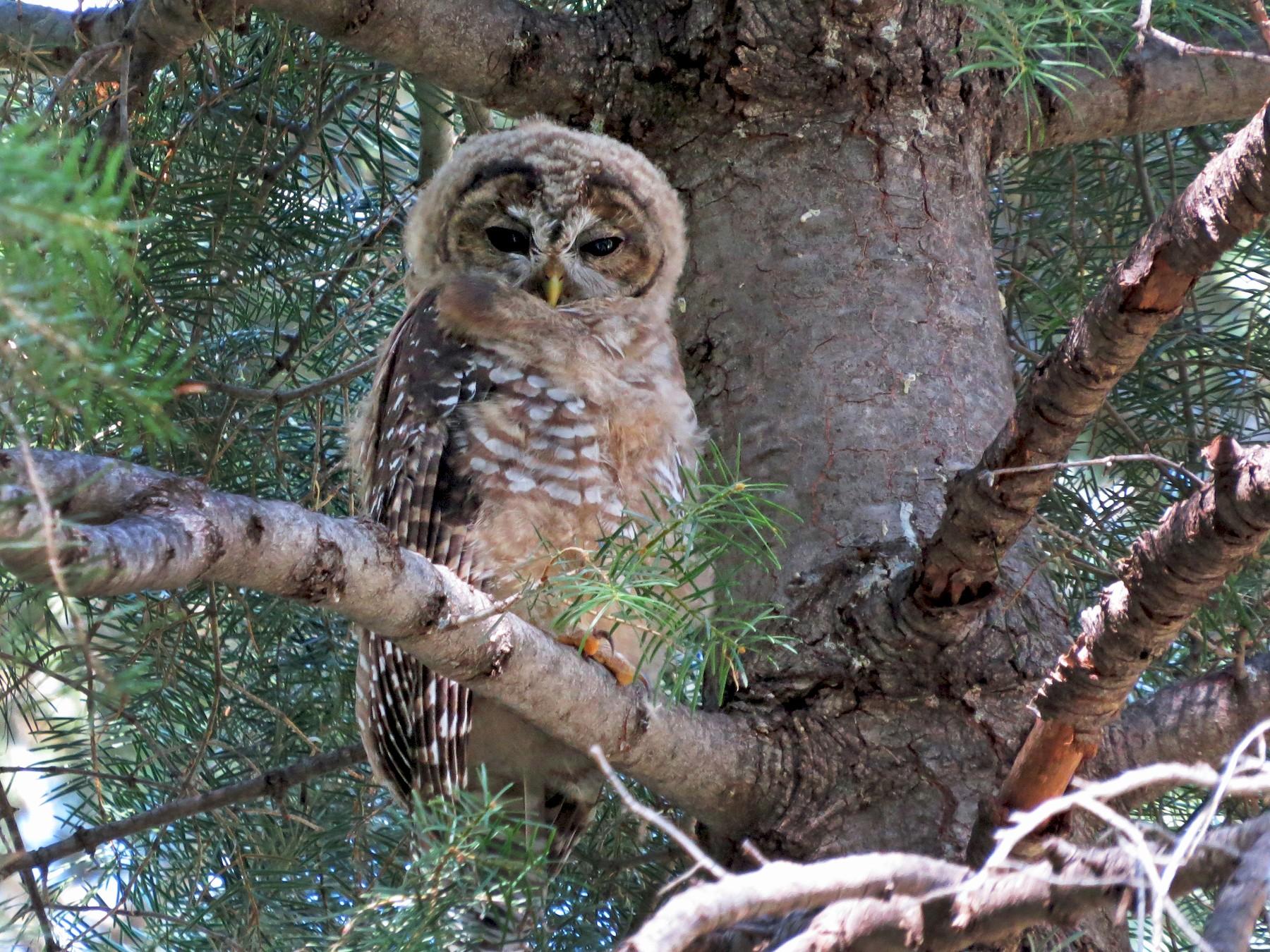 Spotted Owl - Steve Hosmer