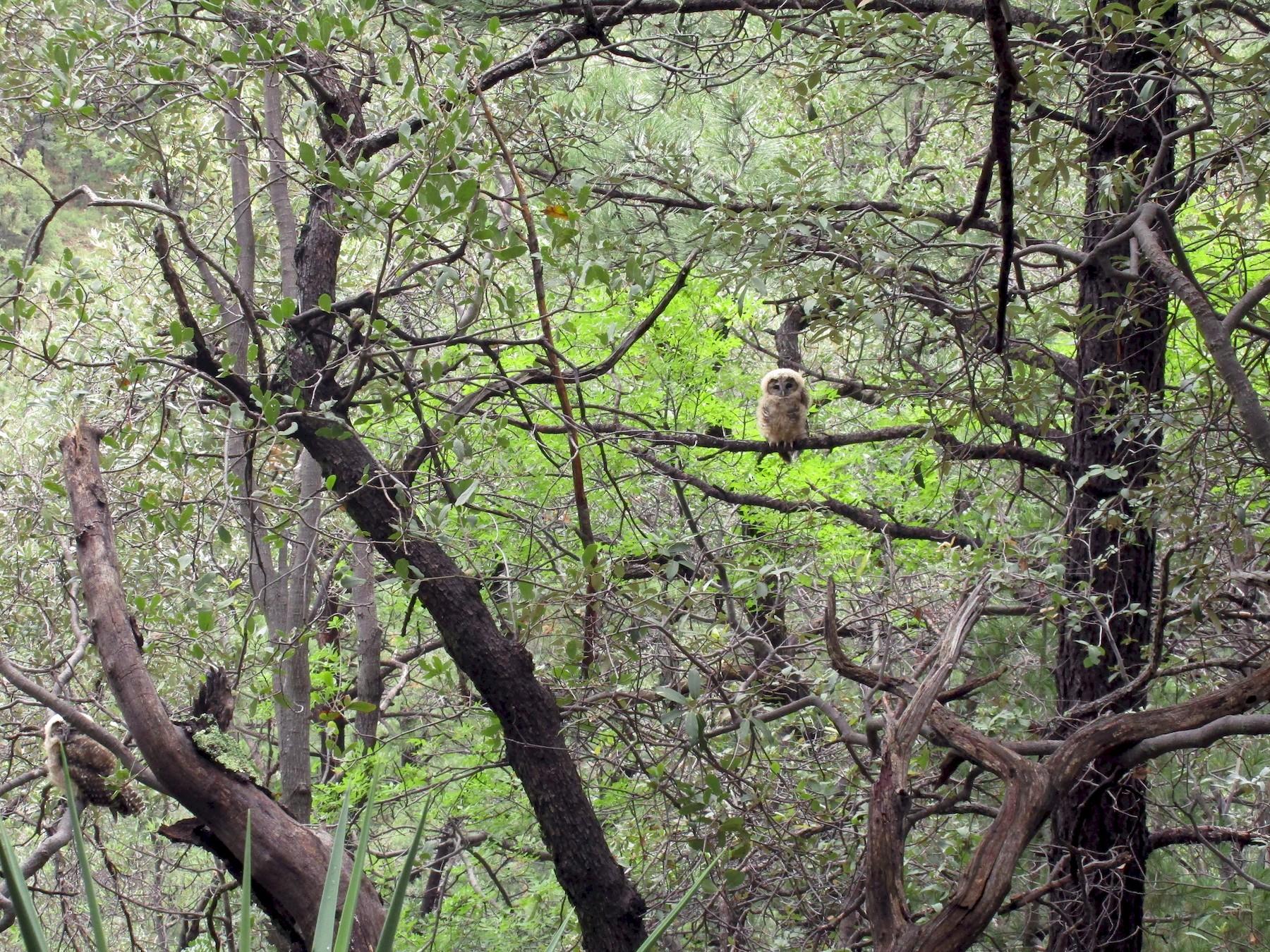 Spotted Owl - Mark Dorriesfield