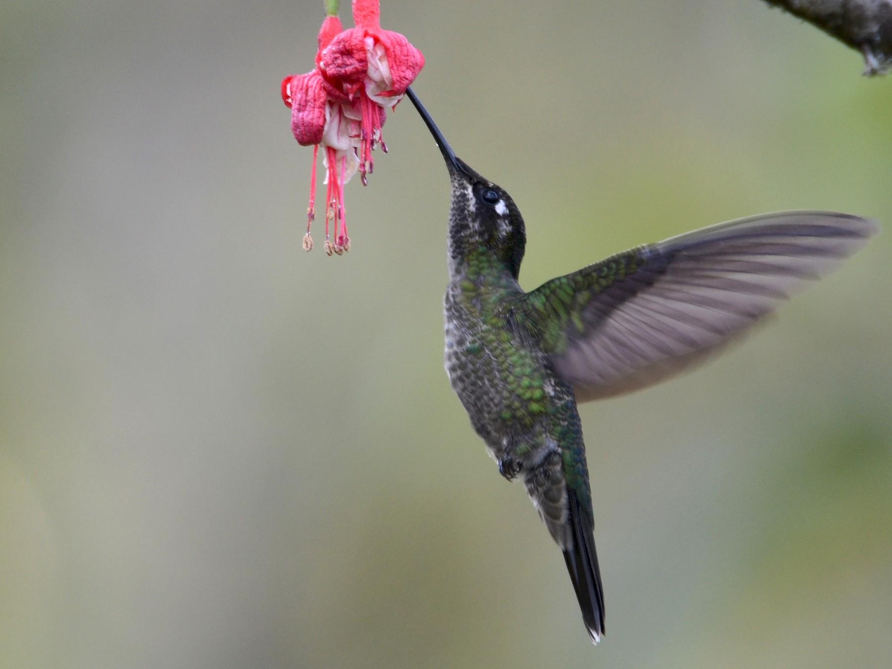 Talamanca Hummingbird - Alan Van Norman