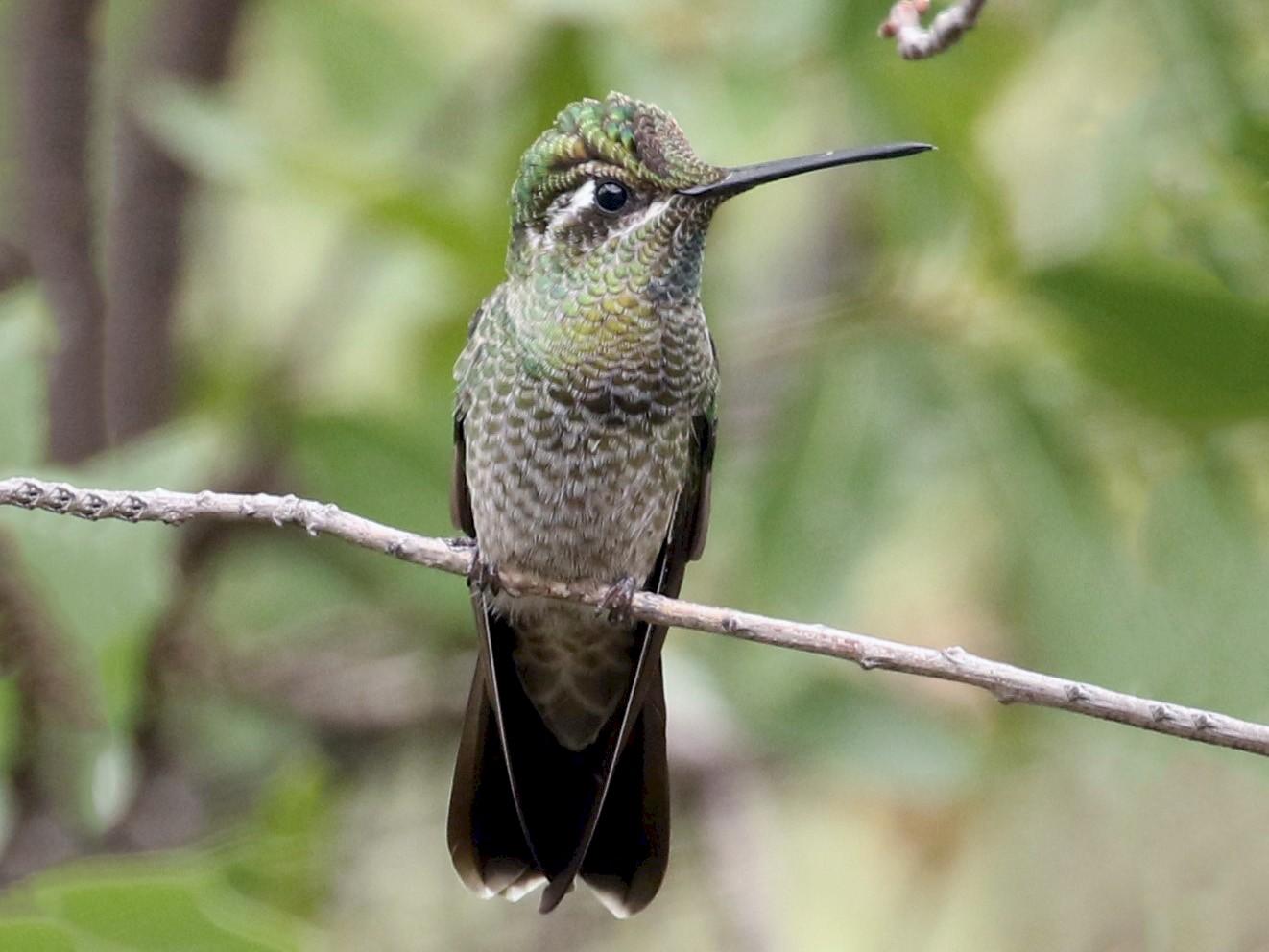 Rivoli's Hummingbird - Bob Friedrichs