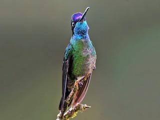 - Talamanca Hummingbird