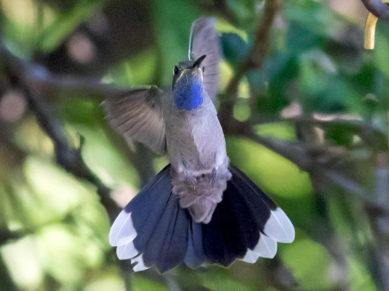 Blue-throated Mountain-gem - Mel Senac