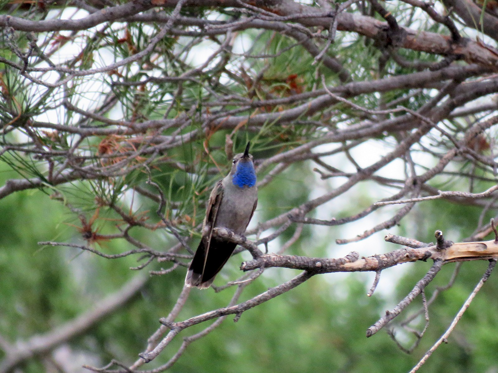 Blue-throated Mountain-gem - Paul Wolter