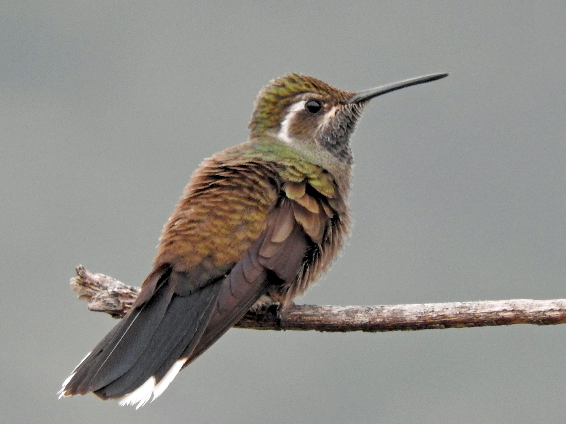 Blue-throated Mountain-gem - Tresa Moulton
