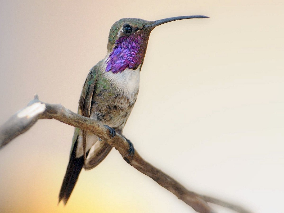 Lucifer Hummingbird - Thomas Dorazio