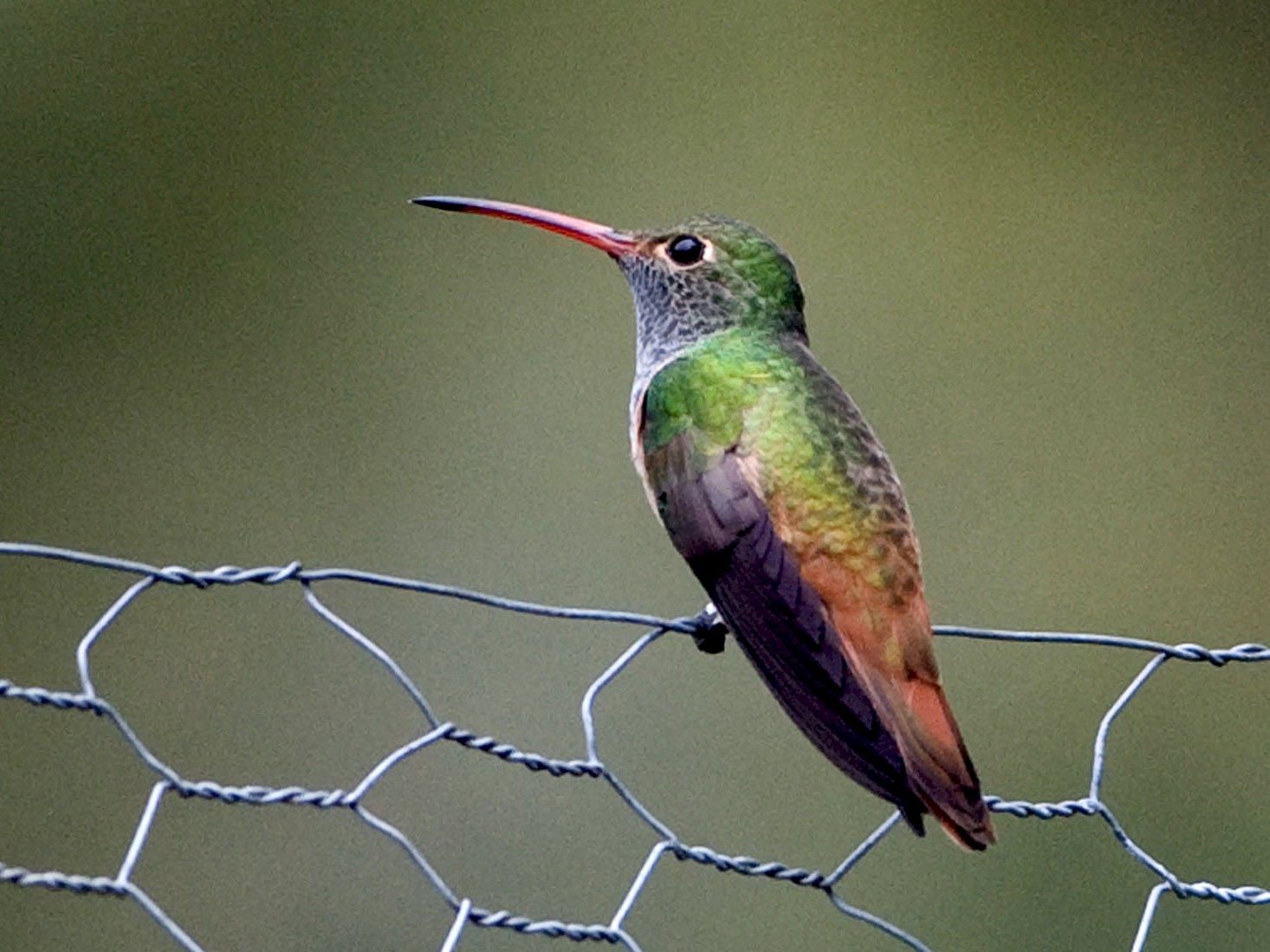 Buff-bellied Hummingbird - Robert Dobbs