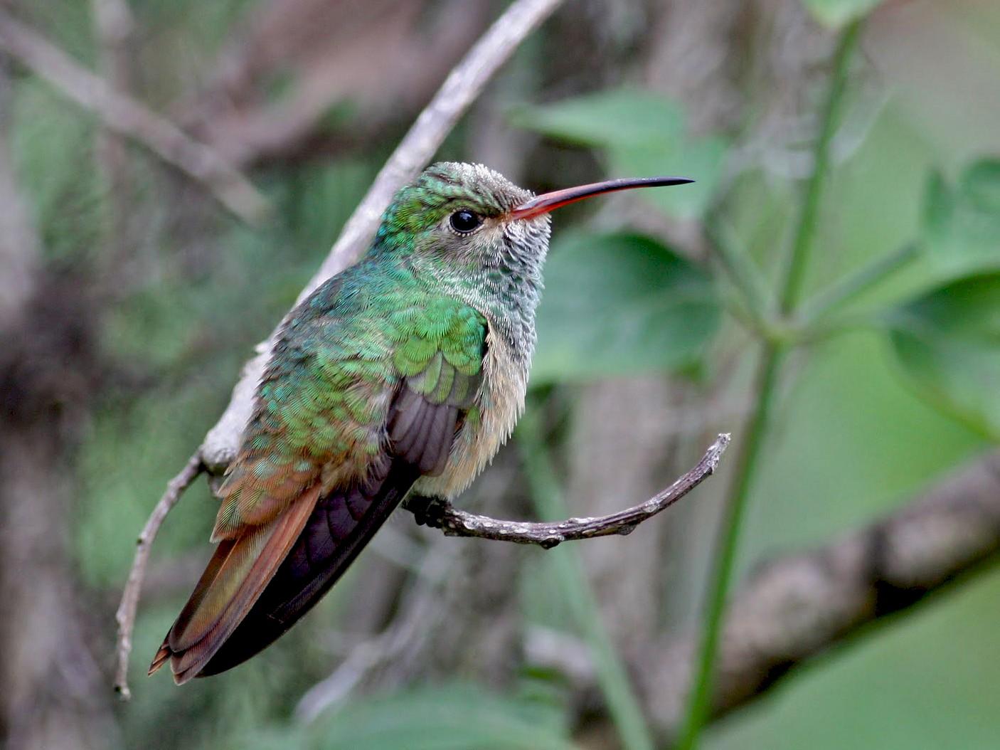 Buff-bellied Hummingbird - Jay McGowan